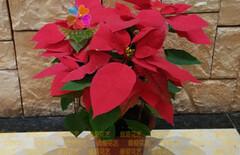 一品红盆栽图片