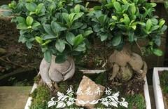 人参榕树图片