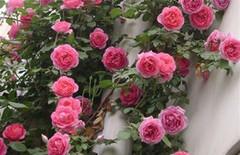 盆栽苗玫瑰苗正宗玫瑰欧月苗图片