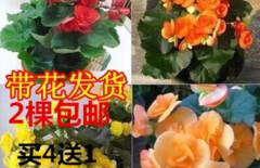 四季海棠花盆栽包邮图片