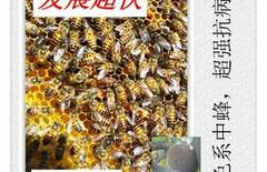 双色中蜂蜂王图片