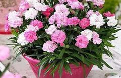 花卉种子四季康乃馨图片