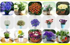 盆栽花卉室内绿植种子图片