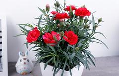 花卉盆栽四季康乃馨图片